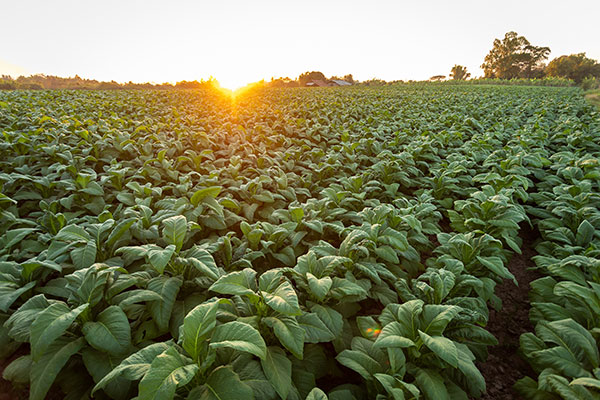 a modern day tobacco field